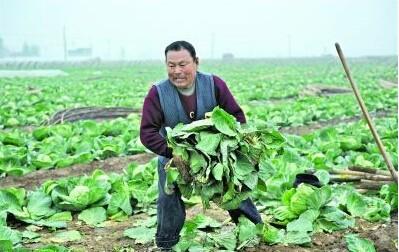 """常德有近100万公斤蔬菜滞销待""""嫁"""""""