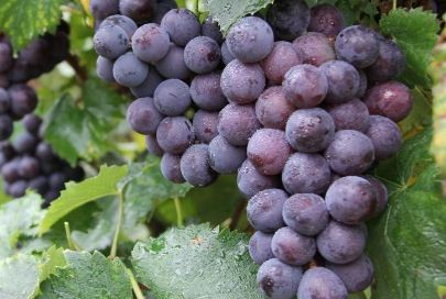 巨峰葡萄几月份成熟?高产栽培技术要点有哪些?
